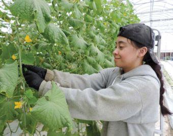 Yesenia Arreola picks miniature cucumbers.