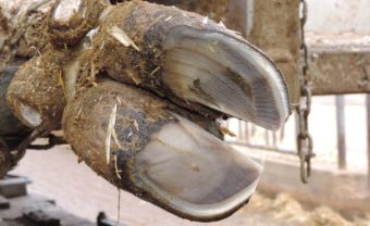 Max Boden's efforts result in a quickly trimmed and leveled hoof.