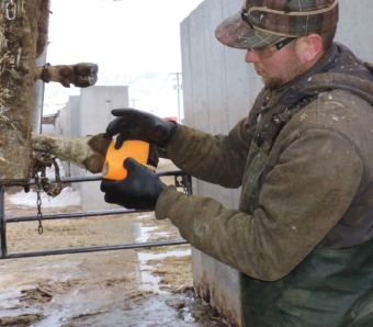 Max disinfects and wraps a cow's hoof after draining an abscess.