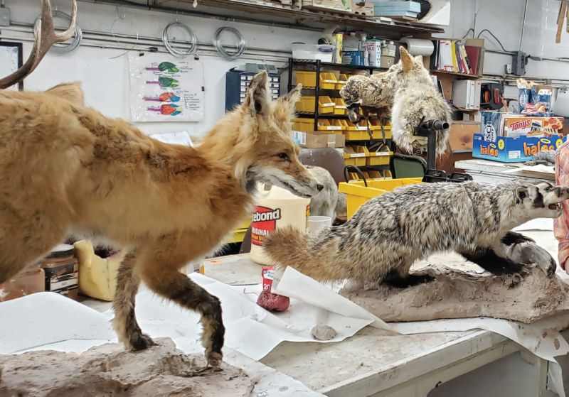 Sara VanMeter worked on a variety of challenging projects throughout her time at taxidermy school in Montana last spring.