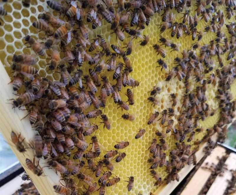 Bees fill honeycomb cells with honey and pollen.